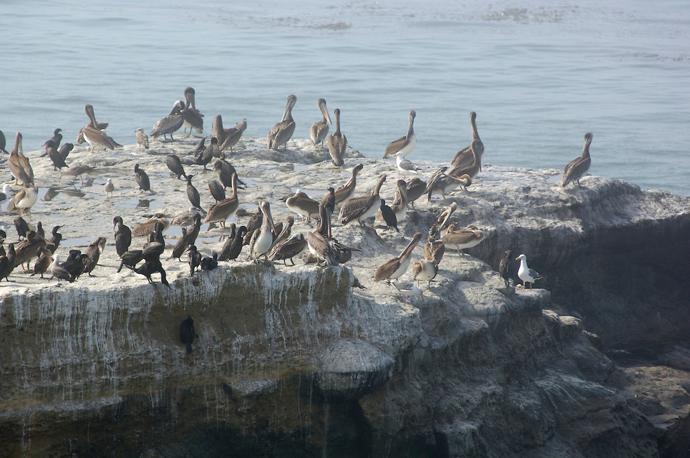 Pelicans (Pelecanus occidentalis), Santa Cruz, California, United States of America