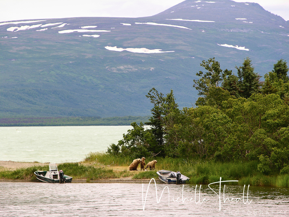 Mama bear and two cubs near boats in Katmai