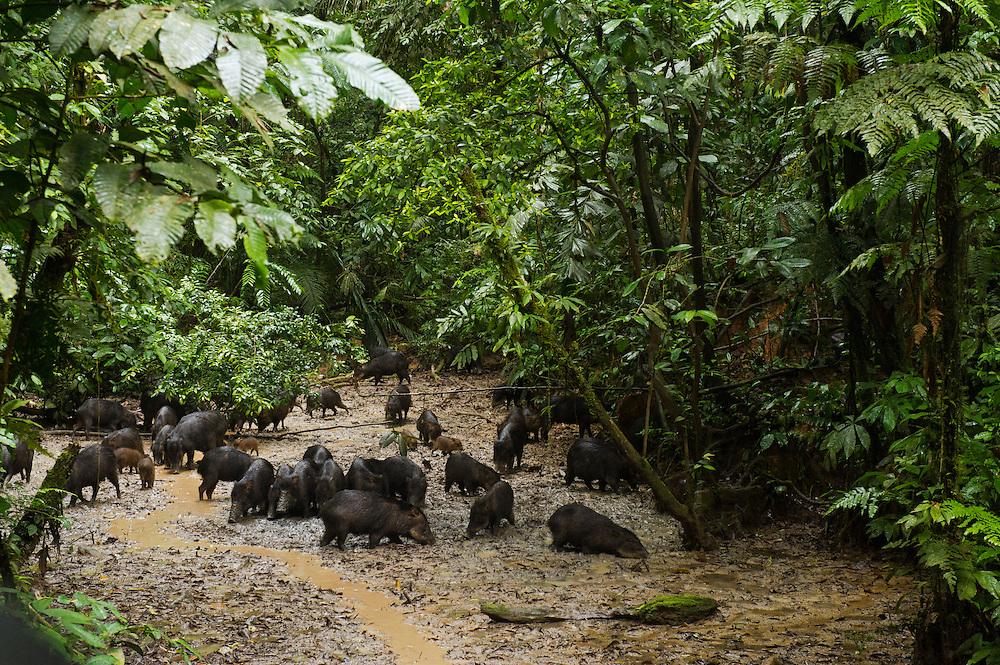 White-lipped Peccary (Tayassu pecari) at saltlick<br /> Yasuni National Park, Amazon Rainforest<br /> ECUADOR. South America<br /> HABITAT & RANGE: Tropics of Central and South America.