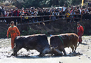 JINHUA, CHINA - NOVEMBER 05: <br /> <br /> Two oxen fight at paddy field during a competition in Wuyi County on November 5, 2016 in Jinhua, Zhejiang Province of China. 44 oxen took part on Saturday in the fighting competition which was a traditional folk activity in Wuyi County, Zhejiang. <br /> ©Exclusivepix Media