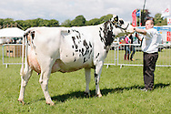 The Angus Show, Brechin, Saturday 8th June, 2013. Dairy champ from Alston Drumchapel