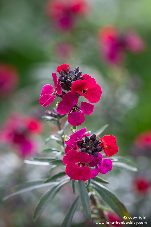 Erysimum 'Red Jep'. Wallflower.