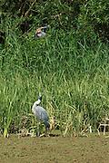 A jay attacks a heron at the London Wetland Centre, Barnes, London