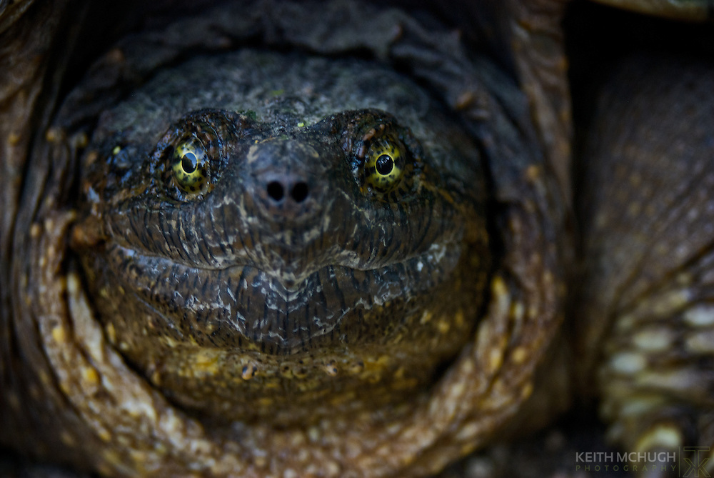 Snapping turtle staring down the camera lens