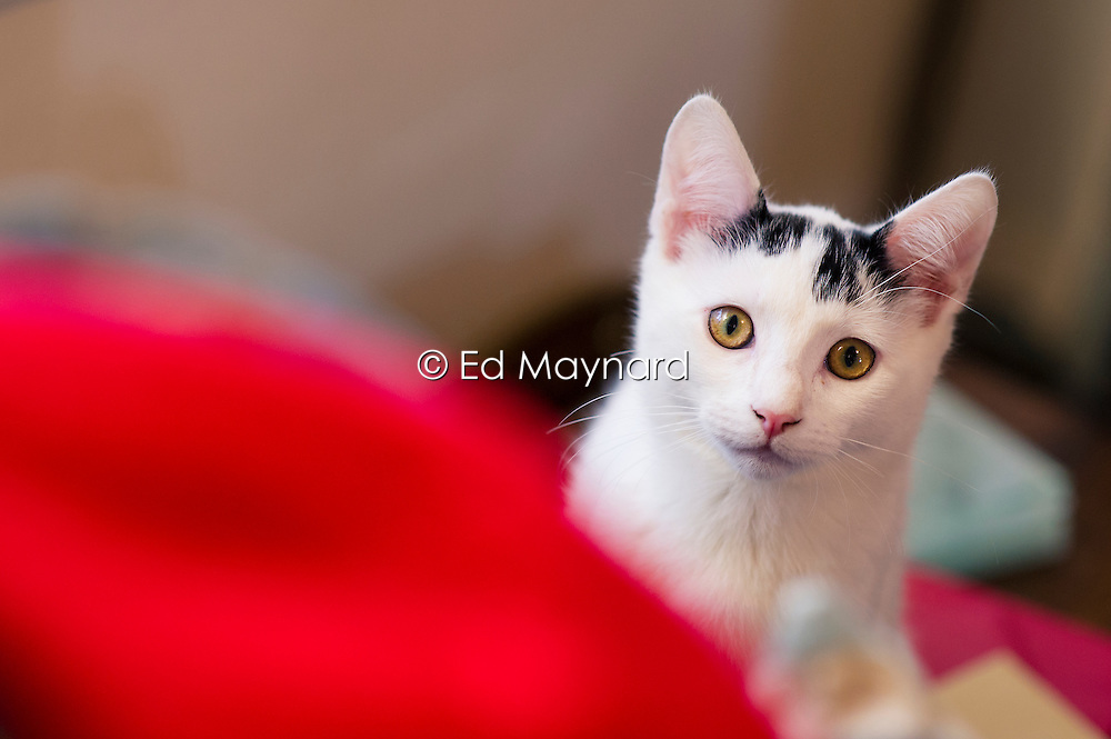 Rescued stray feral kitten playing and in their adopted home, England, United Kingdom.