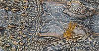 American Alligator, Alligator mississippiensis<br /> Eastern Amberwing Dragonfly, Perithemis tenera <br /> Photographer: Cissy Beasley<br /> Ranch: Welder Wildlife Refuge - Rob &amp; Bessie Welder Wildlife Foundation<br /> Refugio County