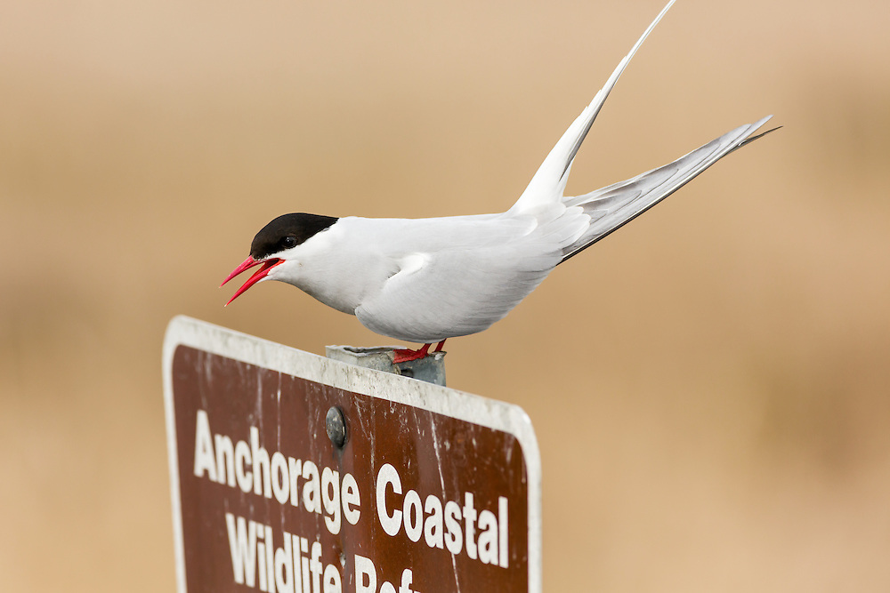 Arctic Tern (Sterna paradisaea) perched on sign to Potter Marsh in the Anchorage Coastal Willife Refuge in Southcental Alaska. Spring. Afternoon.
