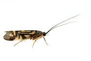 Zebra Caddisfly (Macrostemum zebratum)<br /> United States: Alabama: Tuscaloosa Co.<br /> Tulip Tree Springs off Echola Rd.; Elrod<br /> 26-May-2016<br /> J.C. Abbott #2820 &amp; K.K. Abbott