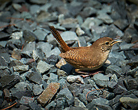 House Wren Chick out on the driveway after being evicted from the nest.. Image taken with a Fuji X-T2 camera and 100-400 mm OIS telephoto zoom lens.