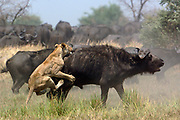 African Lion (Panthera leo) attacking Cape Buffalo (Syncerus caffer), Africa