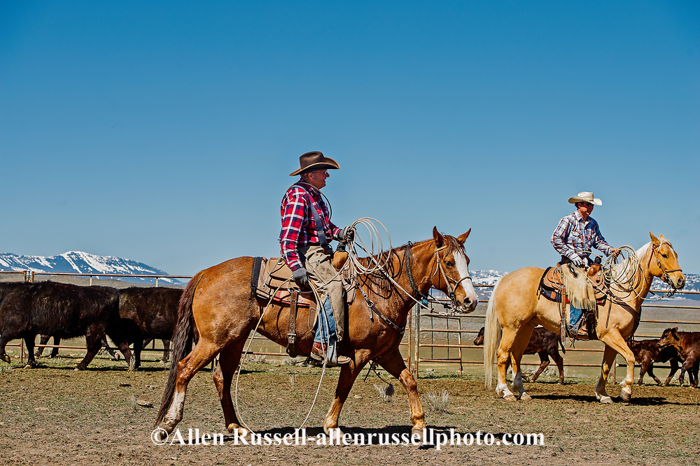 Lyle Woosley, 79 yrs, Tyler Sarrazin, helping neighbor,  Hamm Ranch, branding. Wilsall, MT, Bridger Mountains