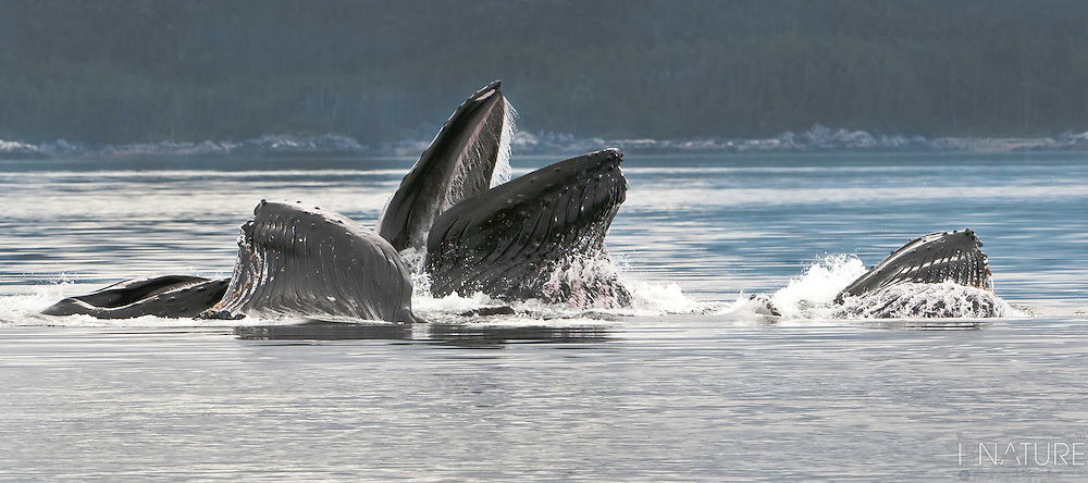 Humpback whale pod feeding along BC coast in the Hecate Strait