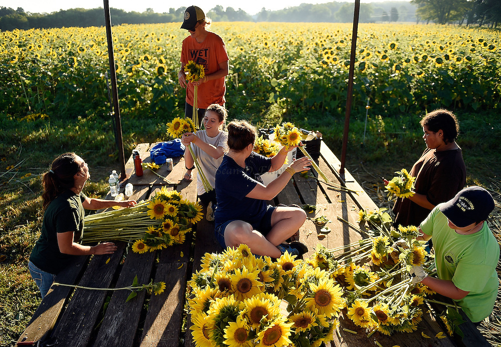 7/28/16 :: REGION :: STAND ALONE :: Volunteers, from left, Michayla Florence, Autumn Powell, Teia Powell, Heather Helwig, Davon Watson and Ethan Powell bundle harvested sunflowers into bouquets at Buttonwood Farm in Griswold Thursday, July 28, 2016 for the farm's 13th annuals Sunflowers for Wishes fundraiser. A bouquet of sunflowers can be had for a $10 donation to the Make-A-Wish Foundation during the event which runs through this weekend. The event has raised over $1 million since it began.  (Sean D. Elliot/The Day)