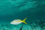 Yellowtail Snapper (Ocyurus chrysurus)<br /> Halfmoon Caye, Lighthouse Reef Atoll<br /> Belize<br /> Central America