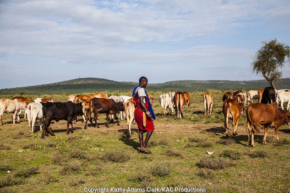 Maasai young boys herding cattle at a village outside, Serengeti National Park, Tanzania, Africa.