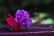 Purple Fuschia Flower