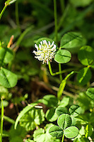 Found almost everywhere in North America from the tropics to the arctic circle, white clover is a naturalized, non-native member of the pea family deliberately brought to the New World as a high-protein food crop for grazing livestock. This one was part of a large patch growing in Northern Arkansas.