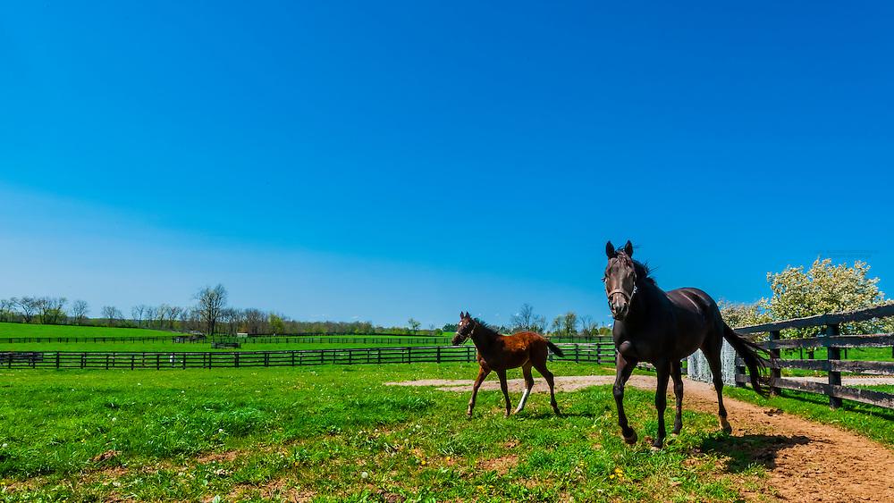 Thoroughbred mare and foal, Winstar Farm, Versailles (Lexington), Kentucky USA.