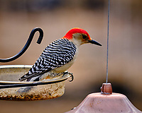 Red-breasted Woodpecker. Image taken with a Fuji X-T3 camera and 200 mm f/2 lens with 1.4x TC