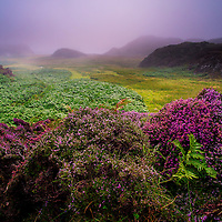 Foggy weather with purple heather and ferns in a rural landscape scene on the isle of Mull in Scotland