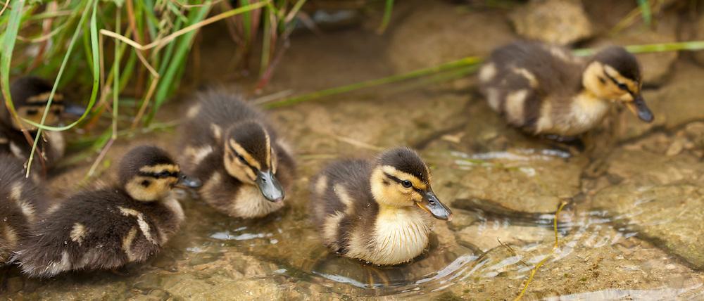 Mallard ducklings, Anas platyrhynchos, in a stream in The Cotswolds, UK