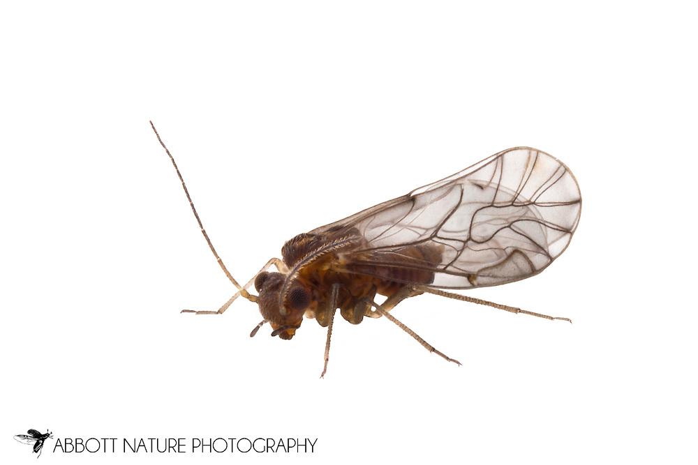 Lachesilla nubilis - female<br /> TEXAS: Hays Co.<br /> San Marcos<br /> 23-Feb-2012<br /> J.C. Abbott &amp; K.K. Abbott