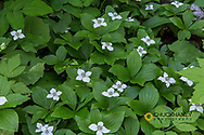Bunchberry dogwood flowering in the Stillwater State Forest near Whitefish, Montana, USA