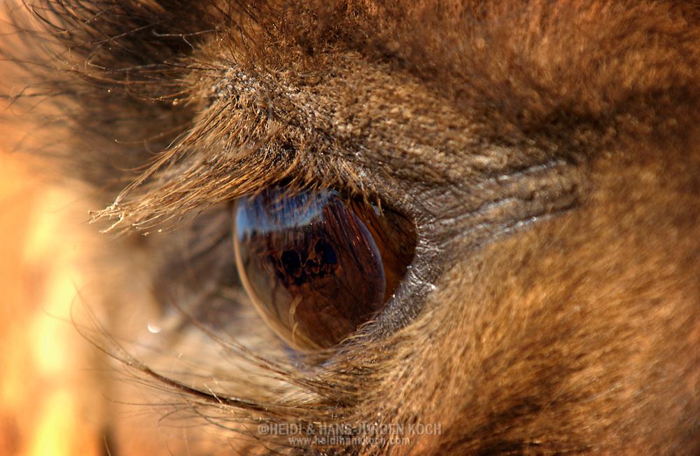 Mongolei, MNG, 2003: Kamel (Camelus bactrianus). Das Auge eines Kamels mit zwei dichten Reihen Wimpern zum Schutz vor der Sonne und dem Sand. Zusätzlich haben sie ein drittes Lid, das geschlossen werden kann und das Auge bei einem Sandsturm schützt. | Mongolia, MNG, 2003: Camel, Camelus bactrianus, eye of a camel with two dense rows of eyelashs, protection against sun and sand, additionally they have a third lid which can close and protect the eyes during a sandstorm, South Gobi. |