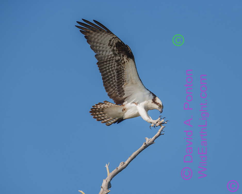 Osprey in flight, feet forward, tail spread, wings up for landing