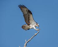 Osprey in flight, feet forward, tail spread, wings up for landing