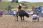 rodeo clown pushes away this airborne bucking bull whilst the bull rider clings on with all his strength at Hellensville Rodeo, Auckland, New Zealand