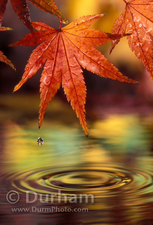 Japanese maple (Acer palmatum) in fall color after rain storm. Hoyt Arboretum, Portland, Oregon.