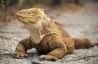 July 1995, Isabela Island, Ecuador --- Land Iguana on Isabella Island --- Image by ? Owen Franken