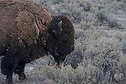 USA, Wyoming, Bull Bison, Yellowstone National Park