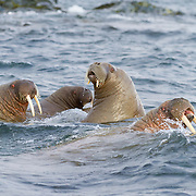 Storoya, Svalbard, NO<br /> Checking out our zodiac, these walrus gamboled by, throwing us a final look. Their grace and tight formation hid their massive bulk that is so apparent when they are on land.