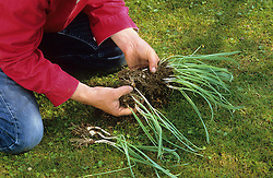 Dividing snowdrops after they have flowered -  'in the green' <br /> Separating bulbs