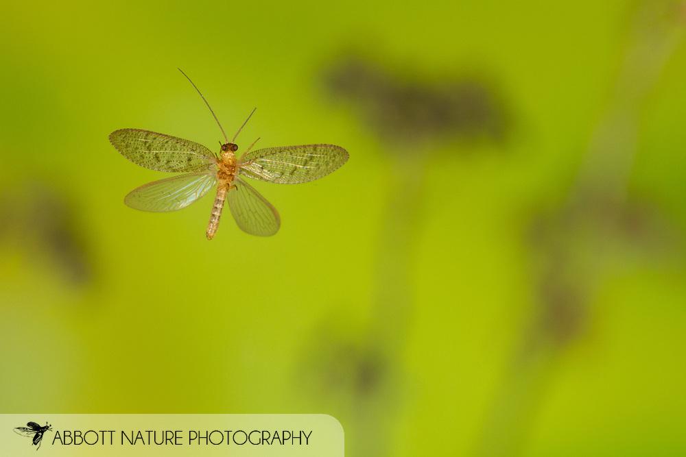 Brown Lacewing (Hemerobius stigma) flying<br /> United States: Alabama: Tuscaloosa Co.<br /> Tulip Tree Springs off Echola Rd.; Elrod<br /> 24-Feb-2017<br /> J.C. Abbott #2895 &amp; K.K. Abbott