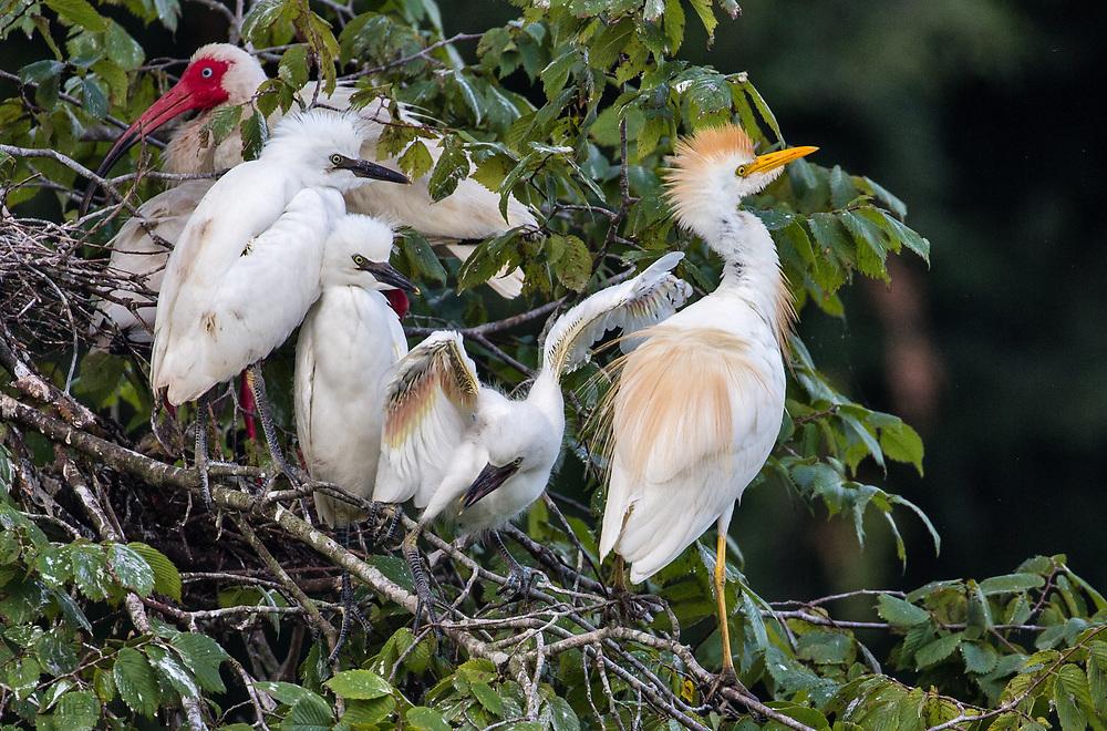 Birds at a rookery on Jefferson Island, Louisiana.