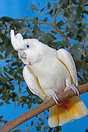 PHILIPPINE COCKATOO OR RED-VENTED COCKATOO cacatua haematuropygia, ADULT STANDING ON BRANCH