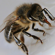 Moroccan bee macro, Marrakech, Morocco (November 2006)