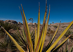 Mojave Yucca (Yucca schidigera), Joshua Tree National Park, California, US