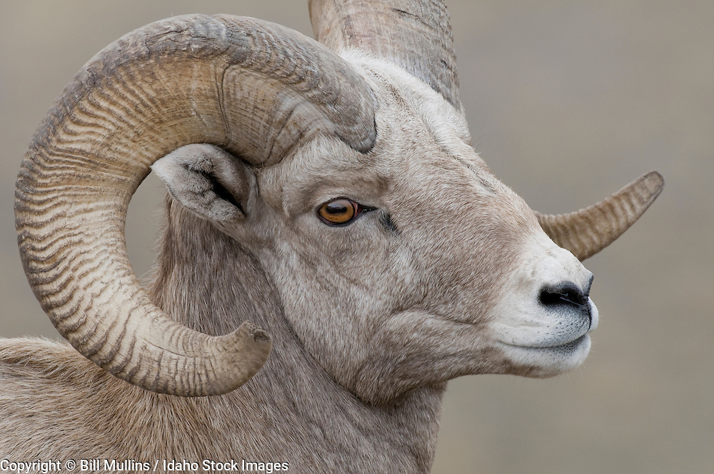 Rocky Mountain bighorn sheep (Ovis canadensis) ram on Wildhorse Island in Flathead Lake Montana