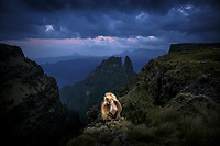 "A gelada monkey, sometimes called a ""bleeding heart"" monkey, pauses before descending a cliff to roost for the night, Simien Mountains National Park, Ethiopia."