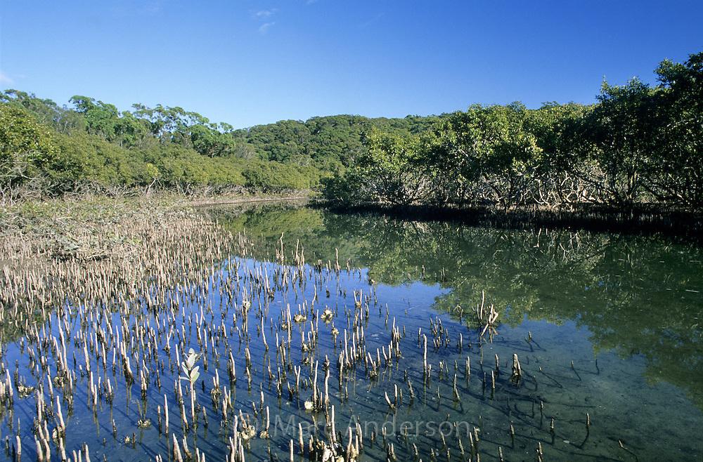 Mangroves, Cabbage Tree Basin, Royal National Park, NSW, Australia.