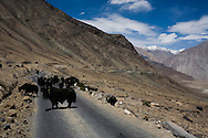 A group of yaks stroll across the highway. Scenery of Nubra Valley, Ladakh on 4th June 2009 while driving from Leh town to Hundar, Diskit, Sumur and Panamik. On the way, drive across the world's highest motorable pass, Khardung La, 5505m. The valley of Ladakh is located in the Indian Himalayas, in the northern state of Jammu and Kashmir. Photo by Suzanne Lee