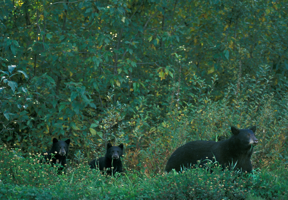 Ursus Americanus, Black Bear sow with cubs, North america