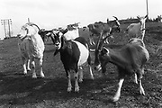 Herd of Goats, Exodus Free Festival, 1997.