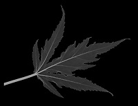 X-ray image of a fireball hibiscus leaf (Hibiscus 'Fireball', white on black) by Jim Wehtje, specialist in x-ray art and design images.