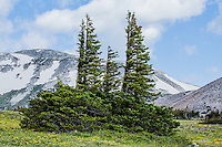 "Engleman spruce trees.  These ""flag"" or ""banner"" trees with branches on the leeward side, reveal the forces of the strong prevailing winds near tree line at Libby Flats of the Snowy Range.  Wyoming, USA."