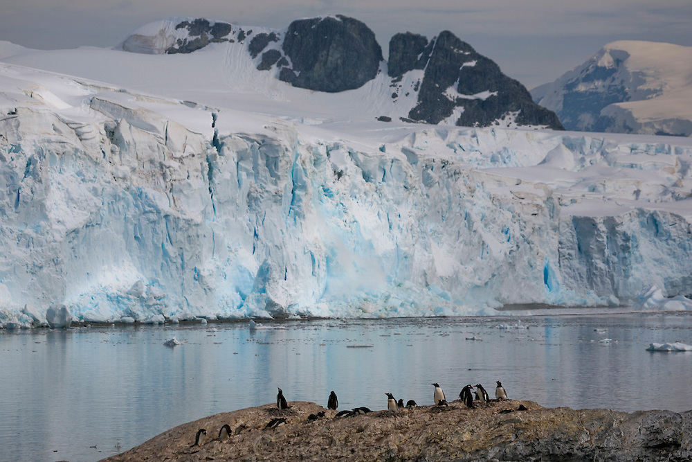 A huge piece of a glacier calves off into the sea behind nesting Gentoo penguins on Cuverville Island, Antarctic Peninsula.  Nesting pairs on the Gentoo penguin colony on the island tend their eggs and chicks. They have to be vigilant to ward off skua birds who try to eat the eggs and chicks.